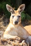 Kangaroo, australia Royalty Free Stock Photography