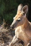 Kangaroo, australia Stock Photography