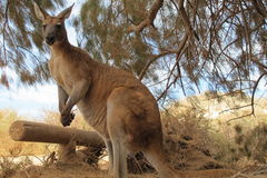 Kangaroo, australia Royalty Free Stock Images