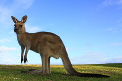 Kangaroo, australia Royalty Free Stock Image