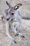 Kangaroo in Australia. Kangaroo is the unique animal live in Australia. It has strong legs. It has small front pocket to keep the baby Royalty Free Stock Image