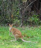 Curious kangaroo (wallaby) in the Outback, Australia Royalty Free Stock Images