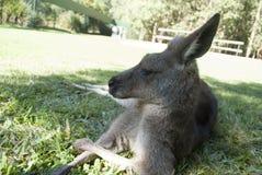Kangaroo at australia zoo Royalty Free Stock Photos