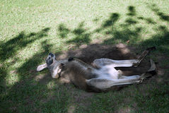 Kangaroo at australia zoo Stock Image