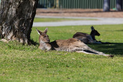 Kangaroo Stock Photography