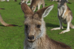 Kangaroo in the Australian outback Stock Image