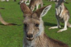Kangaroo in the Australian outback. Posing Stock Image