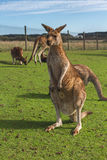 Kangaroo in the Australian outback. Kangaroo posing in the Australian outback Royalty Free Stock Photos