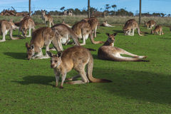 Kangaroo in the Australian outback. Kangaroo relaxing in the Australian outback Royalty Free Stock Photo