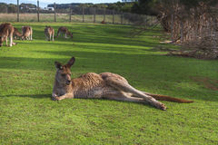Kangaroo in the Australian outback Royalty Free Stock Images