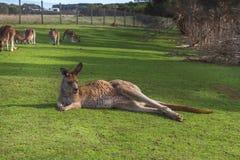 Kangaroo in the Australian outback. Kangaroo relaxing in the Australian outback Royalty Free Stock Images