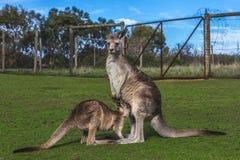Kangaroo. In the Australian wildlife Stock Photography