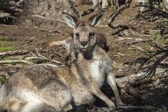 Kangaroo. In the Australian wildlife Stock Photos