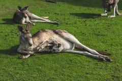 Kangaroo. In the Australian wildlife Stock Image