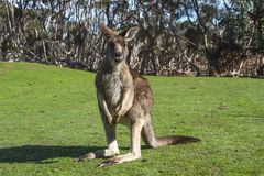 Kangaroo. In the Australian wildlife Royalty Free Stock Image