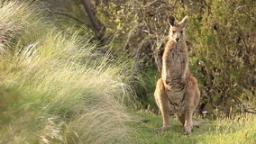 Kangaroo - Australian Wildlife. The kangaroo is one of Australia's most iconic animals, and most species are endemic to Australia. There are over 60 different stock footage