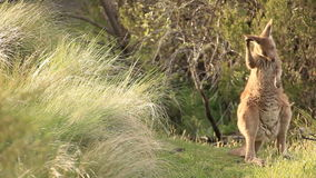 Kangaroo - Australian Wildlife. The kangaroo is one of Australia's most iconic animals, and most species are endemic to Australia. There are over 60 different stock video