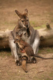Kangaroo with baby Stock Photos