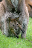 Kangaroo with baby Royalty Free Stock Images