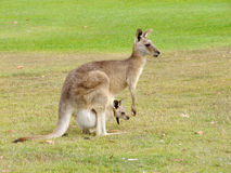 Kangaroo with baby Stock Images