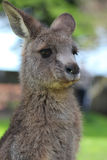 Kangaroo baby Stock Image