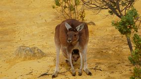 Kangaroo with baby stock image