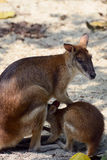 Kangaroo with a baby Royalty Free Stock Images