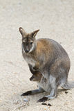 Kangaroo with baby in its pouch. Kaganroo with its baby, in its pouch. Taken in the a zoo in Denmark Royalty Free Stock Photography