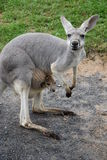 Kangaroo with A Baby Stock Photos