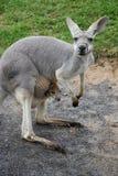 Kangaroo with A Baby. Joey Stock Photos