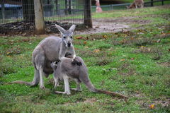 Kangaroo with A Baby. Joey Stock Images