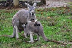 Kangaroo with A Baby. Joey Royalty Free Stock Photo