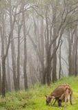 Kangaroo and baby joey feeding. A mother Kangaroo and her baby joey feeding on green grass high in the mountains. Low cloud and fresh cool conditions make for an royalty free stock photo