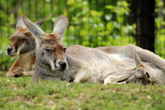Kangaroo and Baby. Baby joey laying next to his mother kangaroo Stock Images