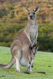 Kangaroo with Baby Joey in Pouch. Wild Kangaroo with Baby Joey in Pouch, Closeup