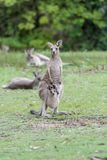 Kangaroo with a baby kangaroo. Mother kangaroo with a baby kangaroo in her pocket stock photography