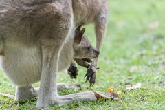 Kangaroo with a baby kangaroo. Mother kangaroo with a baby kangaroo in her pocket stock photo