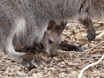 Kangaroo baby in mother's pouch. Kangaroo baby resting in mother's pouch - closeup view Royalty Free Stock Photos