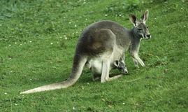 Kangaroo with baby in pouch. Eating kangaroo with baby joey in pouch Royalty Free Stock Image