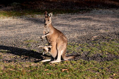 Kangaroo with baby in pouch Royalty Free Stock Photo