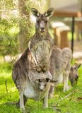 Kangaroo With Baby In Pouch stock photos