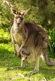Kangaroo With Baby In Pouch royalty free stock images