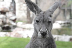 Kangaroo in backyard Stock Photos