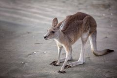 Kangaroo On The Beach stock image