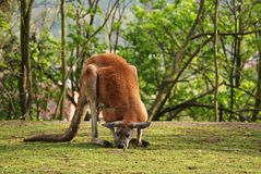 Kangaroo. Beautiful eating kangaroo, what i saw in Zoo Royalty Free Stock Image