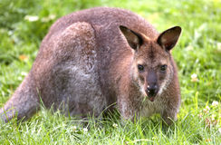 Kangaroo. Bennett´s red-necked wallaby. Sort : Wallabia rufogrisea frutica royalty free stock photo