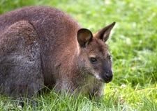 Kangaroo. Bennett´s red-necked wallaby. Sort : Wallabia rufogrisea frutica royalty free stock photography