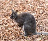 Kangaroo Bennett's (Dendrolagus bennettianus) is siting on autumn leaves Stock Images