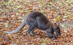 Kangaroo Bennett's (Dendrolagus bennettianus) is siting on autumn leaves Stock Photos