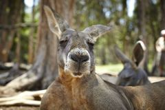 Kangaroo with a big snout Stock Image